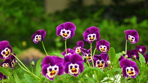 Preview wallpaper pansies, flowers, faces, grass, smiling