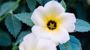 Preview wallpaper pansy, flowers, white, plant