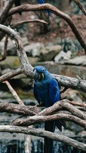 Preview wallpaper parrot, blue, bird