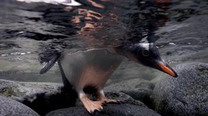 Preview wallpaper penguin, under water, rocks, walking, hunting, swimming
