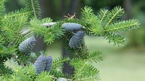 Preview wallpaper pine needles, pine cones, tree, branches