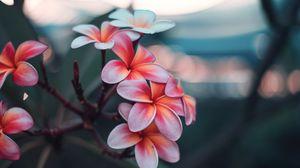 Preview wallpaper plumeria, flowers, pink, branch, bloom