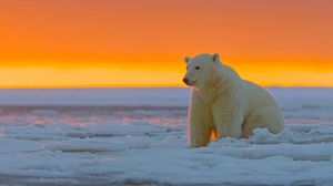 Preview wallpaper polar bear, alaska, snow