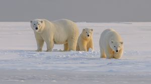 Preview wallpaper polar bear, bear, animal, white, snow