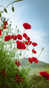 Preview wallpaper poppies, flowers, red, plant, bloom