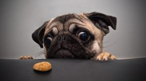 Preview wallpaper pug, dog, face, sadness, cookies