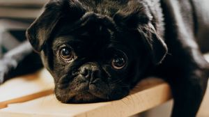 Preview wallpaper pug, dog, glance, sad, pet, black