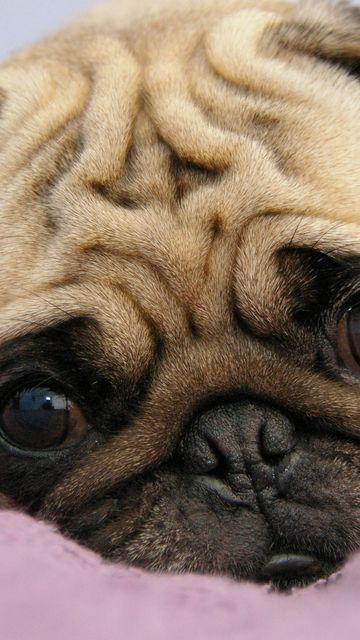 360x640 Wallpaper pug, puppy, snout, eyes, lie