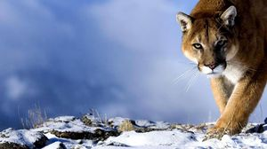Preview wallpaper puma, snow, hunting, trick, big cat, predator