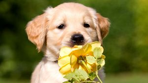 Preview wallpaper puppy, face, flower