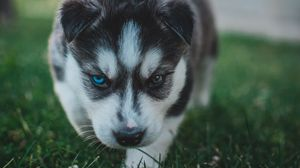 Preview wallpaper puppy, husky, dog, cute, heterochromia