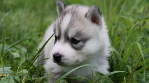 Preview wallpaper puppy, husky, grass, sit