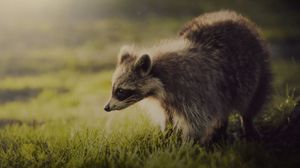 Preview wallpaper raccoon, animal, shadow, interest