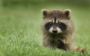 Preview wallpaper raccoon, grass, muzzle, animal, walk