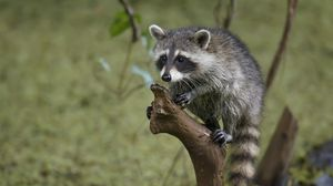Preview wallpaper raccoon, tree, branch, striped