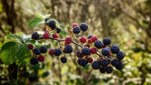 Preview wallpaper raspberries, blackberries, berries, branch