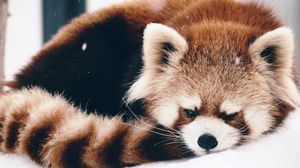 Preview wallpaper red panda, panda, fluffy, lie