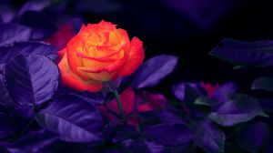 Preview wallpaper rose, bud, orange, purple