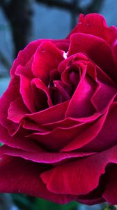 Preview wallpaper rose, bud, petals