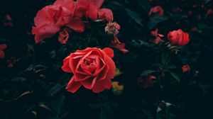 Preview wallpaper rose, bud, petals, red, bush, garden, leaves