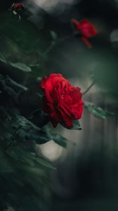 Preview wallpaper rose, bud, red, blur, petals