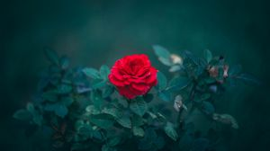 Preview wallpaper rose, bud, red, bush, blur, leaves