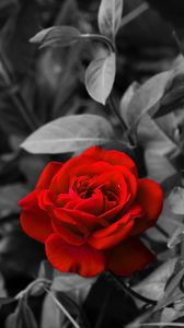 Preview wallpaper rose, bud, red, bw, garden