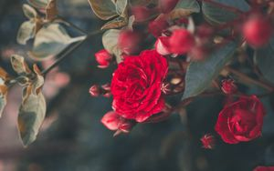 Preview wallpaper rose, bush, bloom, garden, red, blur
