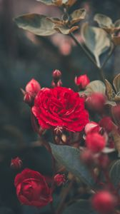 Preview wallpaper rose, bush, bud, red, garden