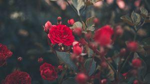Preview wallpaper rose, bush, bud, red, garden