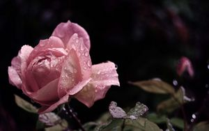 Preview wallpaper rose, flower, bud, leaf, drops, rain