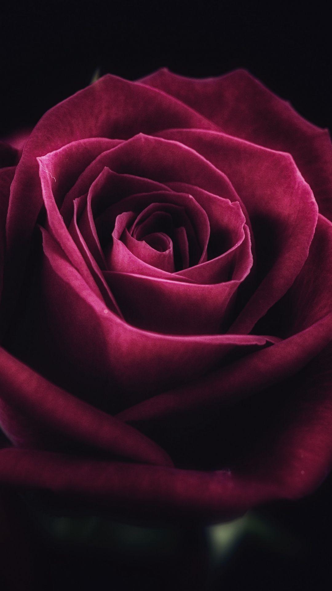 1080x1920 Wallpaper rose, flower, close-up, petals