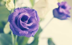 Preview wallpaper rose, flower, purple, plant, decorative, bloom