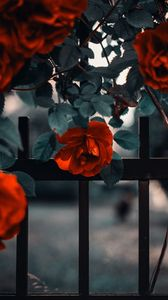 Preview wallpaper rose, garden, bush, red, fence