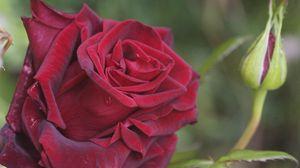 Preview wallpaper rose, petals, plant, red
