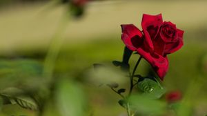 Preview wallpaper rose, red, flower, bloom, plant