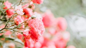 Preview wallpaper roses, buds, bush, blur, pink
