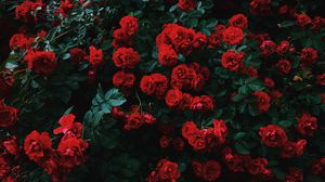 Preview wallpaper roses, bush, bloom, garden, red, contrast