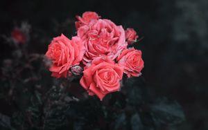 Preview wallpaper roses, bush, buds