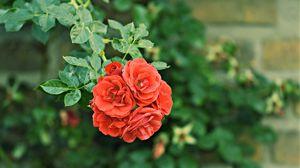 Preview wallpaper roses, bush, buds, garden, blossom