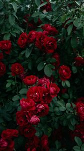 Preview wallpaper roses, bush, garden, bud, red, bloom, leaves