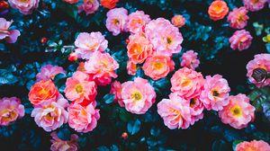 Preview wallpaper roses, flowers, pink, bloom, bush