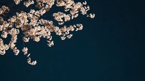 Preview wallpaper sakura, branches, flowers, minimalism, aesthetic
