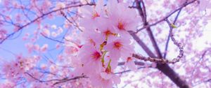 Preview wallpaper sakura, flowers, bloom, spring, pink