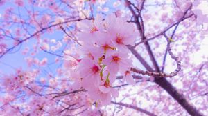 Sakura full hd, hdtv, fhd, 1080p wallpapers hd, desktop backgrounds