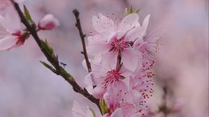 Preview wallpaper sakura, flowers, petals, branch, spring, macro, pink
