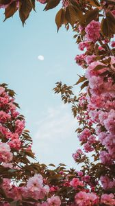 Preview wallpaper sakura, flowers, pink, sky, moon, bloom, spring