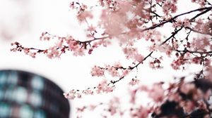 Preview wallpaper sakura, flowers, pink, tree, branches, city