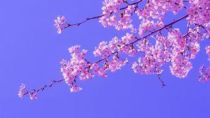 Preview wallpaper sakura, flowers, pink, bloom, branches, sky