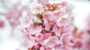 Preview wallpaper sakura, flowers, pink, bloom, macro